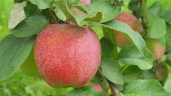 hooldatud õunapuu õunad pääsevad päikese kätte