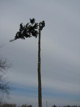 puu otsas 2